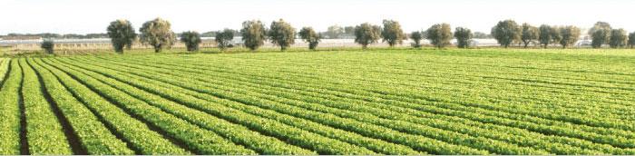 Coltivazione di insalata nella azienda Feragnoli di Terracina