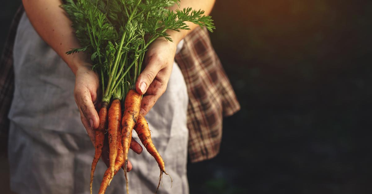mani che tengono un mazzo di carote biologiche