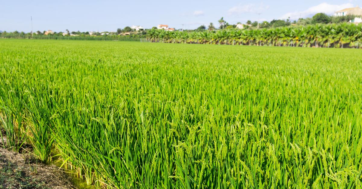 Superficie a riso biologico in Italia e in EU- 28 - Fonte: Sinab e Eurostat